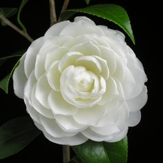 Camellia japonica 'Satsuma' (Japan, 1973)