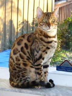 bengal cat, I used to have a cat named Athena, that looked just like this.. :(