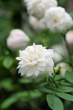 Noisette Rose: Rosa 'Caroline Marniesse' (France, 1848) #fleurs #blumen