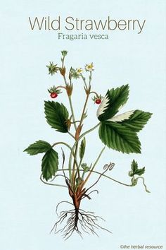 wild strawberry Fragaria vesca  Drink tea of wild strawberry leaves to help combat diarrhea.  I have used this and it works