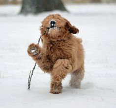 40 Best Goldendoodles images in 2015 | Golden doodles