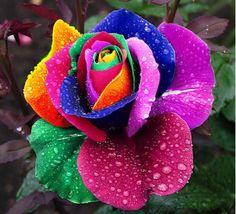 ★ Cheerful Rainbow Colors ★ Beautiful Osiria Rose  https://www.facebook.com/ShutUpImStillTalking