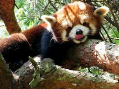 Adorable red panda at the Woodland Park Zoo :D
