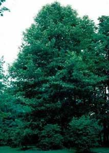 73 Best Trees For Alabama Images Shade Trees Evergreen