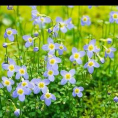 Bluets in the Great Smoky Mountains National Park