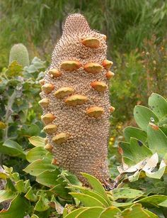 "Banksia grandis ""Giant Banksia"" - Buy Online at Annie's Annuals & Perennials"