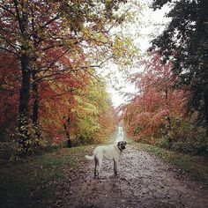 http://www.mybigdog.co.uk/Info/useful-links/competitions/pretty-big-dogs-photography-competitions/ Another photo of a BIG dog enjoying the Autumn for our Pretty BIG Dog Photography Competition