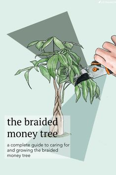 A complete guide to caring for and growing the beautiful Braided Money Tree, a symbol of good luck and prosperity (and the perfect gift! art design landspacing to plant Money Tree Plant Care, House Plant Care, Orchid Plants, Foliage Plants, Planting Plants, Fast Growing Privacy Shrubs, Pachira Aquatica, Tree Braids, Box Braids