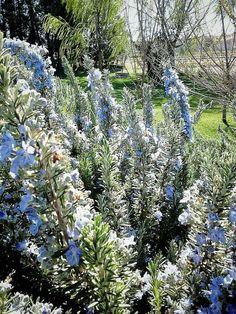 Romaní florit d'aquest mes de Març. Rosmarinus, rosemery, romero