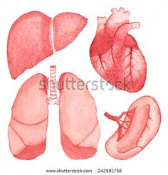 Watercolor set of human internal organs on the white background, aquarelle. Vector illustration. Hand-drawn decorative elements useful for design.