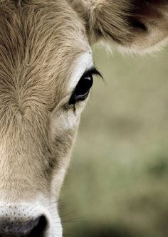 Cows are in the top 10 on the list of my favorite animals. I love their big brown eyes!!