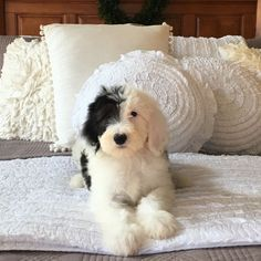 Mini Sheepadoodle puppy Feathers And Fleece Lexington Indiana… Cute Puppies, Cute Dogs, Dogs And Puppies, Doggies, Cute Baby Animals, Animals And Pets, Sheepadoodle Puppy, Goldendoodles, Doodle Dog