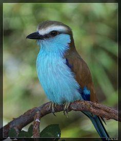 Racket-tailed Roller Bird Image - http://www.petandanimals.com/racket-tailed-roller-bird-image/