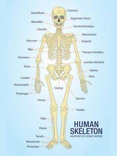"Human Skeleton Anatomy Anatomical Chart Poster Print Poster (for my ""radiology wall""! Human Skeleton Anatomy, Human Body Anatomy, Human Anatomy And Physiology, Human Anatomy Chart, Anatomy Study, Anatomy Reference, Anatomy Drawing, Medical Anatomy, Nursing Notes"