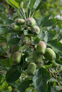Young Anna apple tree
