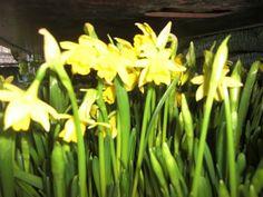 Daffodils #http://www.lookbackinvintage.co.uk/