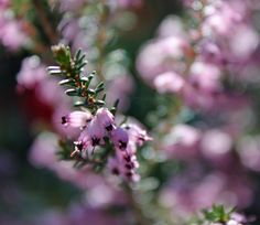 Purple Flower Photograph Scottish Heather 10x8 by JPWPhotography,