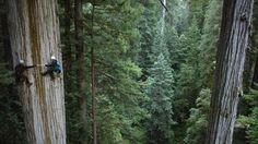 750 year old sequoia, California