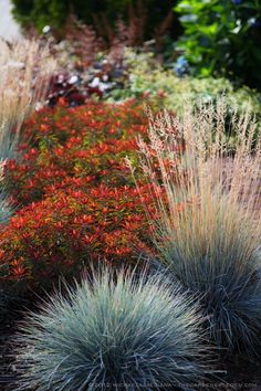 Euphorbia polychroma 'Bonfire' & Festuca glauca 'Elijah Blue' Along the Hot, Sunny Walkway. Like the first plant in the pic, mixed with garlic that makes purple bloom. Landscape Architecture, Landscape Design, Garden Design, Blue Fescue, Garden Retaining Wall, California Garden, Drought Tolerant Plants, Colorful Garden, Gardens