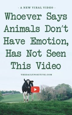 Every Animal Lover Should See This - this is adorable! It's a video about a heard of cows reactions when they were able to go into the pasture after winter was over.