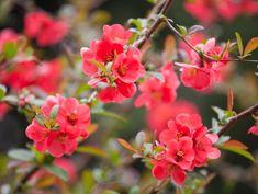 Top 20 des plus beaux arbustes à fleurs - M6 Deco.fr Evergreen Shrubs, Flowering Shrubs, Elderberry Growing, Chaenomeles, Small Pink Flowers, Lilac Bushes, Sun Loving Plants, Butterfly Bush, Spring Blossom