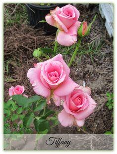 Hibiscus House: Authentic Haven Brand Moo Poo Tea & Hibiscus House Roses