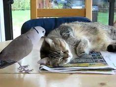 original : http://www.youtube.com/watch?v=drZb5oi7xuQ Une tourterelle avec un rire particulier dérange un chat pendant sa sieste tous les jours.