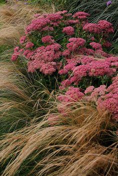 ~ Foggy Bottom Gardens ; combination of Stipa tenuissima and Sedum matrona. via Gardener's Supply on Flickr