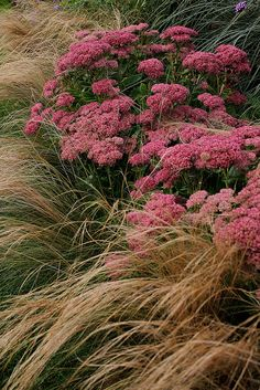 ~ Foggy Bottom Gardens ; combination of Stipa tenuissima and Sedum matrona. via Gardener's Supply on Flickr