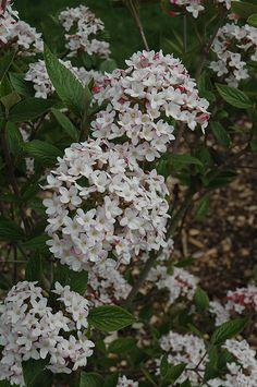 Mohawk Viburnum (Viburnum x burkwoodii 'Mohawk') at New Garden Landscaping & Nursery