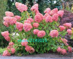 20ピース/バッグアジサイの種子、アジサイリン'vanilla fraise'、レア盆栽アジサイの花種子、鉢植え植物用ホームガーデン