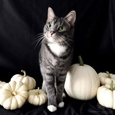 Congrats @pebblesthekitty the last winner of the @ProPlanCat #ProPlanTreat contest! Thank you everyone for playing!  @pebblesthekitty shares her story: Pebbles deserves a treat this Halloween (and everyday) because this is her first Halloween. Last year at this time she was still in foster care recovering from her hard start in life. We are so happy to share this first Halloween with her. She really is a sweetheart.  Visit coupons.com for an offer to save $2.00 on one (1) package of Purina…
