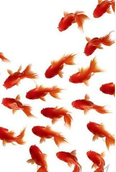 swimming together goldfish