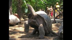 World's BIGGEST TORTOISE! The Giant Galapagos Tortoise, Eating pakistan