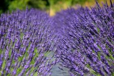 Chilcott is based on a lavender farm in the heart of Wales' Usk Valley. Wales Holiday, Spring Is Here, In The Heart, This Is Us, Lavender, Gardening, Colours, Group, Board