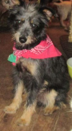 Meet BOSLEY (Super Low Adoption) BARKLEY, a Petfinder adoptable Schnauzer Dog | Washington, DC | For dogs with the last name Barkley. PLEASE call Janet 479-394-2524 or visit website:...