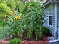 Sunflower Garden Staked at 79 days