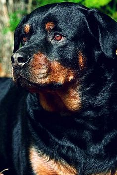 beautiful rottweiler dog picture