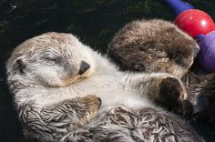 Otters hold hands
