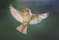 Photo Story:  Birds in Flight Photography – Female House Sparrow | Martin Belan