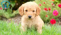 Johnny | Goldendoodle - Miniature Puppy For Sale | Keystone Puppies Goldendoodle Miniature, Miniature Puppies, Goldendoodle Puppy For Sale, Design Development, Puppies For Sale, Your Best Friend, Miniatures, Animals, Animales
