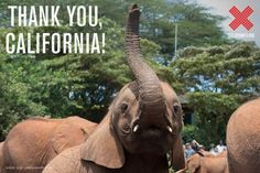 #ivory  Did you hear the big news?! California signed AB 96 into law yesterday. Now the golden state joins New York and New Jersey as leaders in taking a stand for elephants by banning the sale of ivory!
