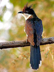 Jacobin Cuckoo (Clamator jacobinus) Photograph By Shantanu Kuveskar. Jacobin cuckoo, pied cuckoo, or pied crested cuckoo. ಚಾತಕ ಪಕ್ಷಿ, ದಾತ್ಯೂಹ ಪಕ್ಷಿ