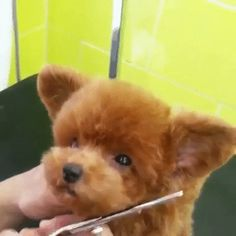 Things that make you go AWW! A place for really cute pictures and videos! Cavachon, Cute Pictures, Best Gifts, Cute Animals, Hair Cuts, Teddy Bear, Kawaii, Animation, Pets