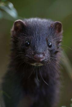 Mink Photo by Kalmer Lehepuu — National Geographic Your Shot Animals And Pets, Cute Animals, Animals With Fur, Mink Animal, Melanistic Animals, Melanism, British Wildlife, Animal Faces, Icons