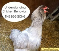 Understanding Chicken Behavior: The Egg Song  - The Homestead Survival - Homesteading - Raising Chickens