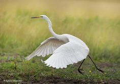 Greate White Egret, elegant in flight - Wildlife Photographic Journals: July 2012