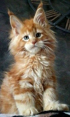How To Keep A Maine Coon Cat Growth Chart? (For Maine Coon Cats And Kittens) Maine Coon Kätzchen www. Cute Cats And Kittens, Cool Cats, Kittens Cutest, Pretty Cats, Beautiful Cats, Animals Beautiful, Popular Cat Breeds, Tier Wallpaper, Iphone Wallpaper