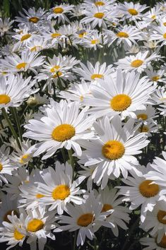 Full Sun Perennials: 15 Beautiful Low Maintenance Plants That Thrive In The Sun - Gardening @ From House To Home blooming Perennials maintenance Perennials full sun ideas Full Sun Perennials, Full Sun Plants, Shade Perennials, Shade Plants, Easy Plants To Grow, Easy Care Plants, Shasta Daisies, Creeping Phlox, Belle Plante