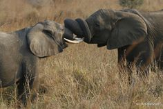 #animals #elephant #tanzania